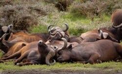 sleep bulls